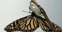 Butterfly hatching video
